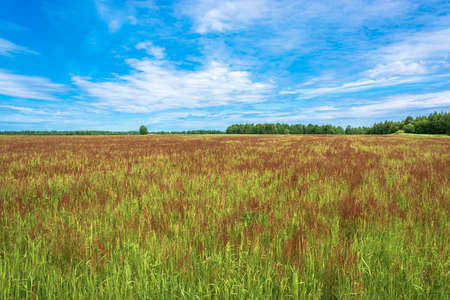 A large field with red flowers on a summer sunny day and a beautiful cloudy sky. Фото со стока