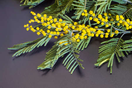 Bright yellow flowers of mimosa with green leaves, shot close-up. Stok Fotoğraf
