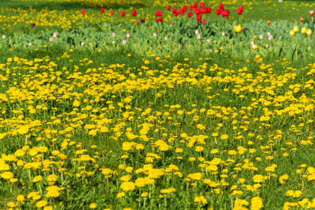 A small glade with yellow dandelions, red, pink and yellow gladioli on a spring day. Stok Fotoğraf