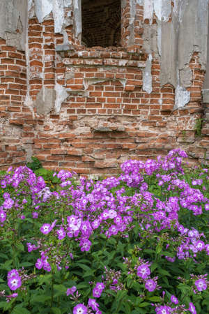 Many bright purple flowers on a background of old masonry of red brick.