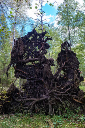The fabulous roots of a large fallen tree against the backdrop of an autumn forest on a cloudy day.