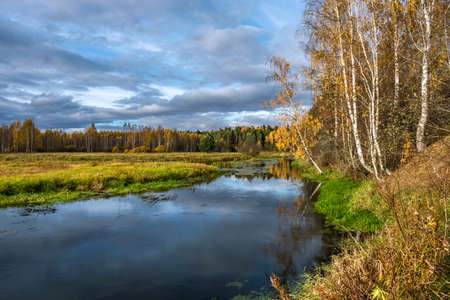 White-birch birch trees with yellow leaves on the edge of a small river on a sunny autumn day.