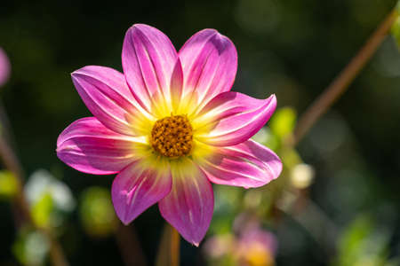 A large flower with pink petals and a yellow center on a dark blurry background, taken close-up.