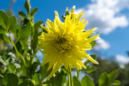 A large yellow flower on a background of green leaves and a blue sky with white clouds. Фото со стока