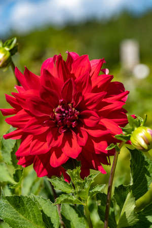 A bright red flower on a green blurry background, taken in close-up. Фото со стока