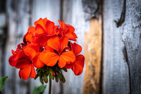 A large red flower on an indistinct background of old boards, taken in close-up. Фото со стока