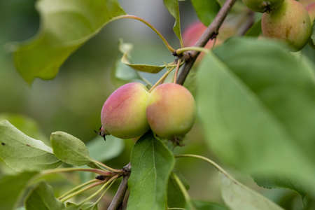 A branch with red-green apples on a background of green leaves and a blurry background, taken in close-up.