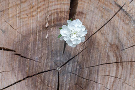 A white flower on an indistinct background of a thick tree cut, taken in close-up.