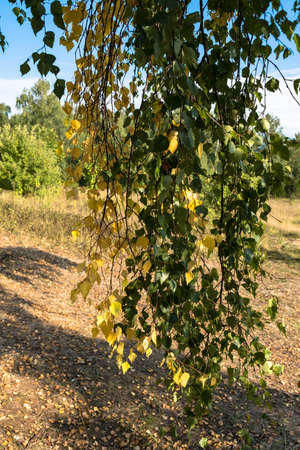Long thin birch branches with yellow and green leaves on a sunny day.