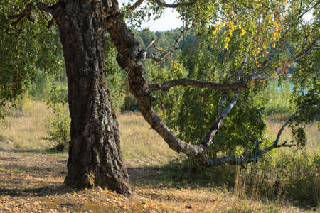 A thick trunk of an old birch tree and a twisting large branch, bent down to the ground on a sunny day. Фото со стока