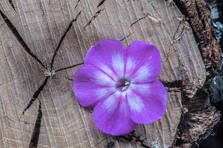 A small flower with five purple petals on the background of a tree cut, taken in close-up.