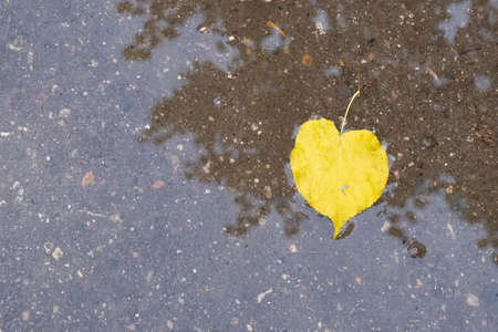 A bright yellow leaf in a puddle on the asphalt, taken close-up.