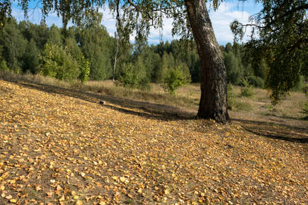 Thick trunks of old birch trees on a gentle slope strewn with yellow leaves on a sunny summer day.