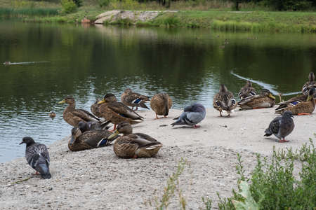 Pigeons and wild ducks on the shore of the reservoir on a summer day, Russia.