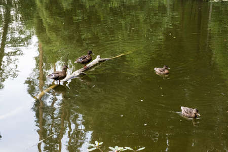 Two wild ducks are standing on a half-submerged tree trunk, and the other two are swimming.