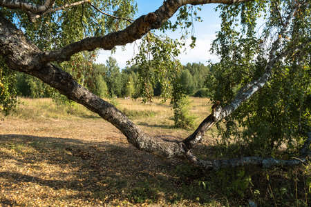 A large twisting branch of a birch tree in the foreground and people walking to the forest in the background, Russia. Фото со стока