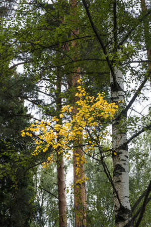 A lonely little birch branch with yellow leaves on a background of green leaves. Фото со стока