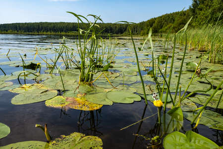 Yellow water lily on a large forest lake on a summer day, Russia. Фото со стока