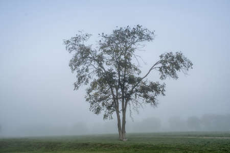 A large branching tree with sitting crows in the center of the frame, in the early foggy morning. Фото со стока