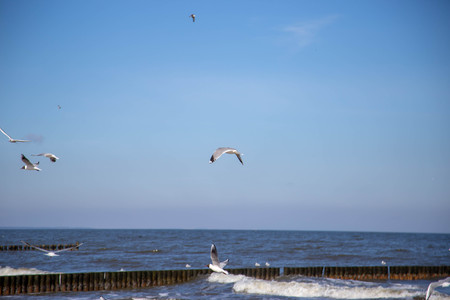 white Seagulls fly on the beach of Zempin