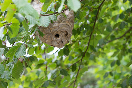 A wasp nest on the tree Stock Photo - 108042629