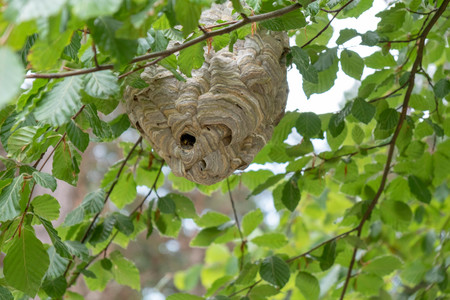 A wasp nest on the tree Stock Photo