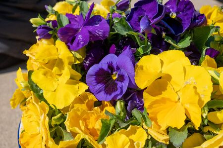 beautiful yellow and purple violets Stock Photo