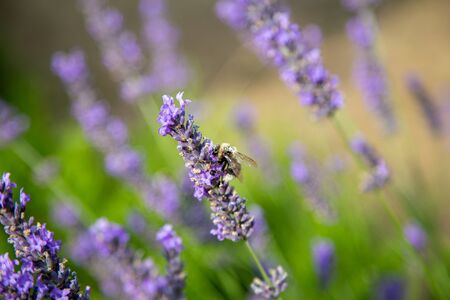 a wonderful bumblebee with lots of pollen on its back sits on a lavender and collects Фото со стока