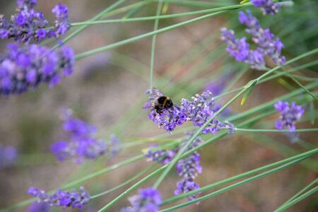 a wonderful bumblebee with lots of pollen on its back sits on a lavender and collects