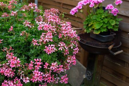 beautiful pink geraniums in a pot in the garden