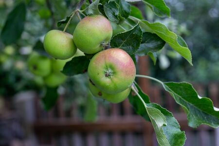 fresh green apples are hanging from the branches and ready to be picked Reklamní fotografie