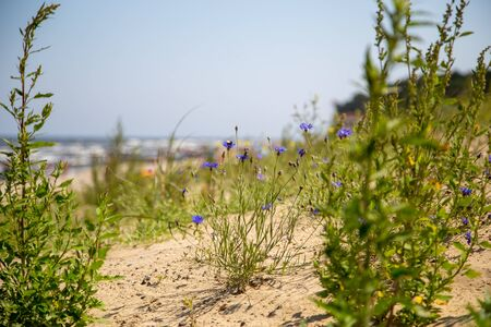 The view through grass and thistles over the dune to the beach of Zempin on the island Usedom on a sunny day Reklamní fotografie