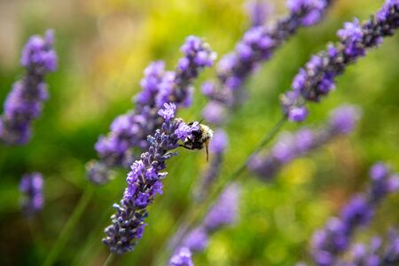 a wonderful bumblebee with lots of pollen on its back sits on a lavender and collects Reklamní fotografie