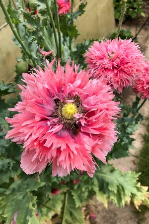 Bees and bumble bees collect poppy seeds, papaver somniferum, diligently pollen for sweet honey.