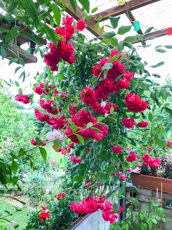 The view into a garden with RED climbing roses Reklamní fotografie
