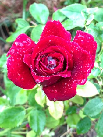 a red rose with big drops of water after the rain