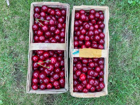freshly harvested sour cherries in baskets stand on the meadow Reklamní fotografie