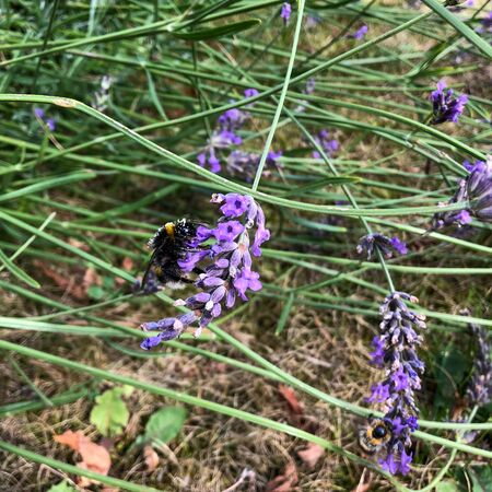 a bumblebee on a lila lavender collects pollen