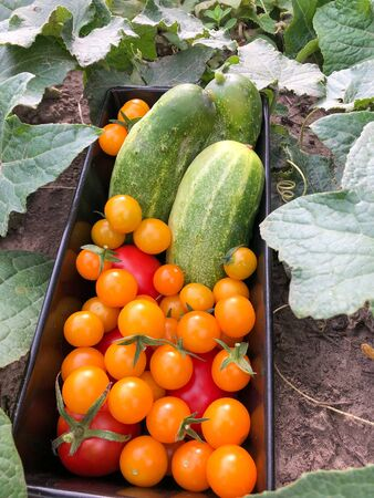 Cucumbers and red and yellow tomatoes are freshly harvested in a bowl in the cucumber bed
