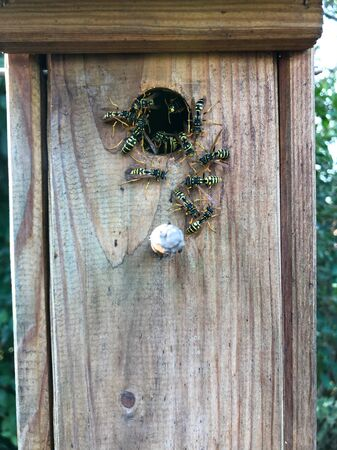Many wasps have adopted a birdhouse as their home.