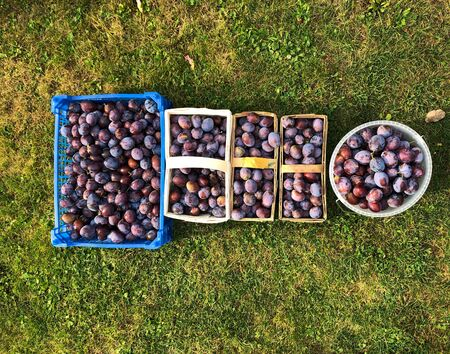 Freshly harvested plums in baskets of wood and plastic on a green meadow in the garden Reklamní fotografie