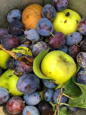 Apples and plums as waste in a bucket in garden