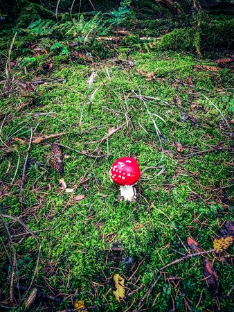A lonely little fly agaric on a clearing in the forest Reklamní fotografie