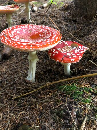wonderful fly ly agarics in the forest Stock Photo