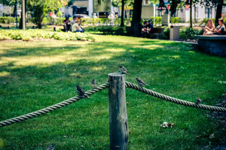 cheeky sparrows sit on a rope in the park and lie in wait for food in summer.