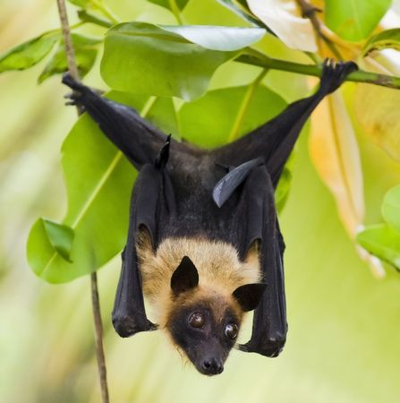 chauves-souris: Indian Flying-fox (Pteropus giganteus) hanging in tree  Banque d'images