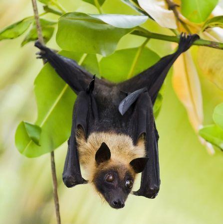 pteropus: Indian Flying-fox (Pteropus giganteus) hanging in tree  Stock Photo