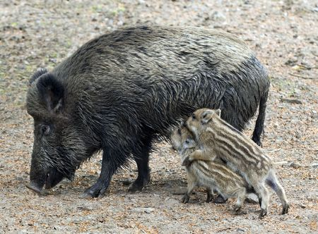 Two wild boar piglets competing for their mothers milk photo