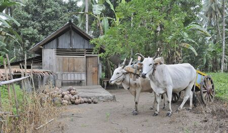 sulawesi: Cows and cart outside traditional indonesian house in the jungle, Manado, North Sulawesi Stock Photo