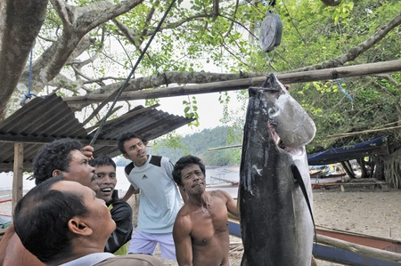 sulawesi: Fishermen weighing a yellowfin tuna in the fishing village of Bulo, Manado, North Sulawesi, Indonesia